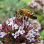 пчела на цветах чабреца