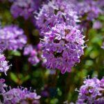 пурпурные цветы чабреца