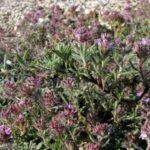 Тимьян крымский (Thymus tauricus)
