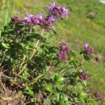 Тимьян холмовый (Thymus collinus)