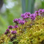 Тимьян блошиный (Thymus pulegioides)