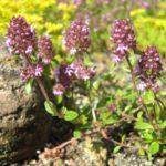 Чабрец блошиный (Thymus pulegioides)