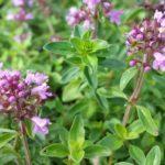 Цветы и листья чабреца (тимьяна)