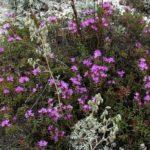 Тимьян меловой (Thymus calcareus)