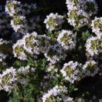цветущий белый чабрец