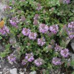Тимьян кустовой (Thymus comosus)
