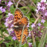 бабочка на цветах чабреца
