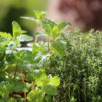 тимьян и другие травы