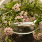 Цветы и листья тимьяна