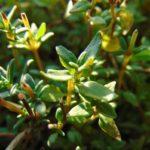 листья и стебли тимьяна (чабреца)
