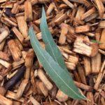 щепки и листья эвкалипта