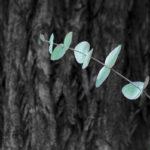 кора и листья эвкалипта