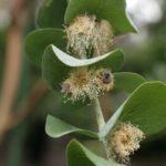 цветы и листья эвкалипта