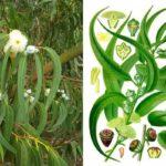 Эвкалипт шаровидный (Eucalýptus globúlus)