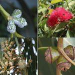 Почки, цветы и плоды эвкалипта