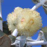 белые цветы эвкалипта