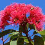 пчелы на эвкалиптовом цвете
