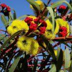 желтые цветы эвкалипта