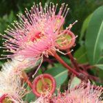розовые цветы эвкалипта