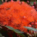 красные цветы эвкалипта