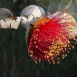 так цветет эвкалипт