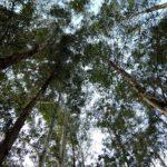 эвкалиптовые деревья