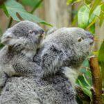 мама-коала с детенышем едят листья эвкалипта