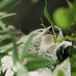 коала ест эвкалипт