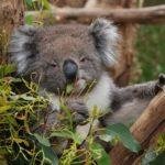 коала питается эвкалиптовыми листьями