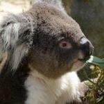 коала ест эвкалиптовые листья