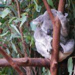 коала спит на эвкалипте