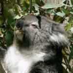 коала жует листья эвкалипта
