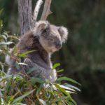 коала на эвкалипте