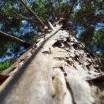ствол и кора эвкалиптового дерева