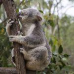 коала на эвкалиптовом стволе