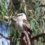 птица на ветке эвкалипта