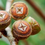 плоды эвкалипта