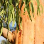 листья и кора эвкалипта