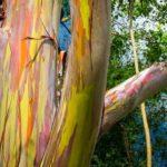 кора эвкалипта радужного (Eucalyptus deglupta)