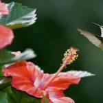 колибри и цветы суданской розы