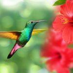 колибри и цветы гибискуса