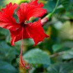 красный цветок суданской розы (гибискус)