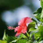 цветок суданской розы