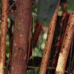 Стволы коричного дерева