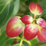 Молодые листья коричника