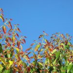 Листья коричника