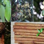 Листья, соцветия, плоды и кора коричного дерева