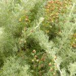 Полынь каменная (Artemisia rupestris)