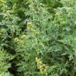 Полынь Сиверса (Artemisia sieversiana)