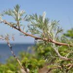 Полынь полевая (Artemisia campestris)